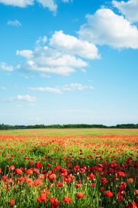 Flanders poppy fields seen on a springtime river cruise