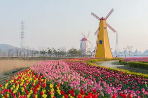 Windmills and Tulips on Springtime river cruises