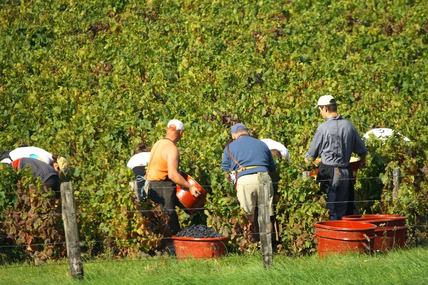 Gamay grape harvest