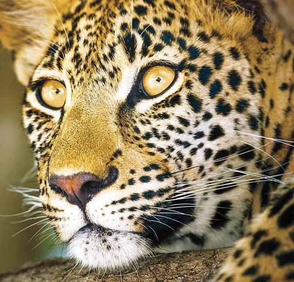 AmaWaterways Zambezi queen Cheetah