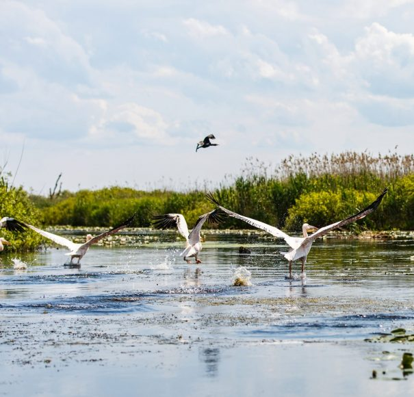 Danube - flying-birds-and-aquatic-plants-in-Danube-DeltaLowRes