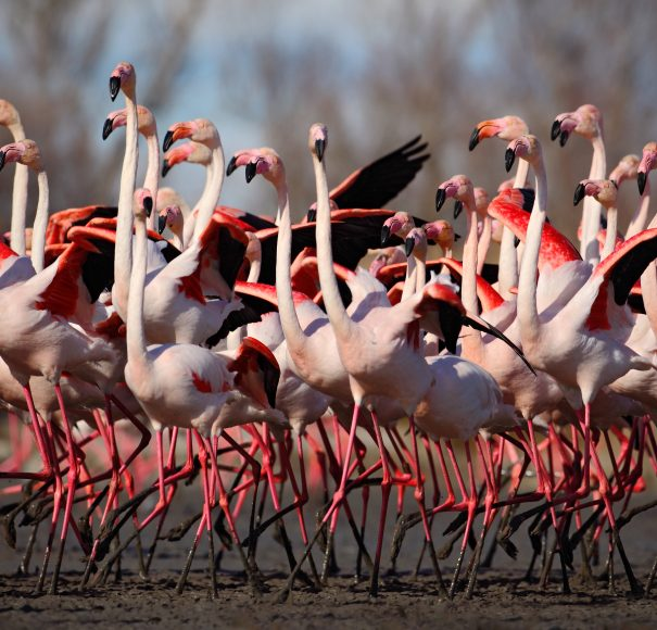 Flock of Greater Flamingo, Camargue, Rhone, France