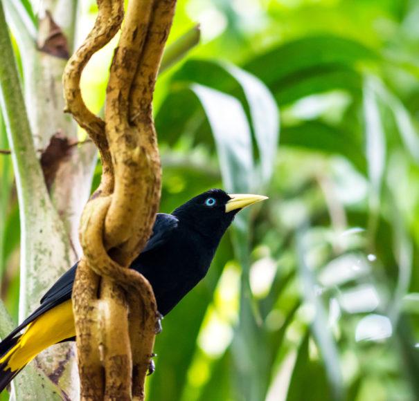 Cacius Yellow Bird, Pacaya, Samiria National Reserve